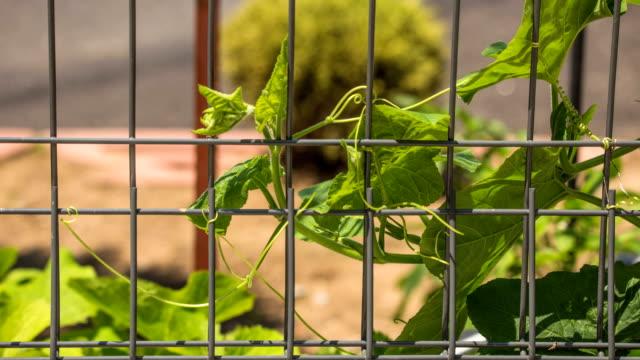 pumpkin vine winding around iron fence - ツル点の映像素材/bロール