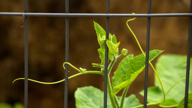 pumpkin vine winding around iron fence - fence stock videos & royalty-free footage