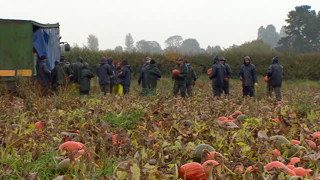 pumpkins being picked on a farm - harvesting stock videos & royalty-free footage