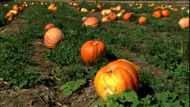 Pumpkins grow in a large field.