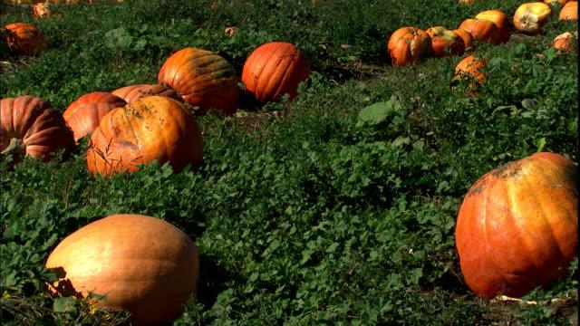 pumpkins grow in a large field. - pumpkin stock videos & royalty-free footage