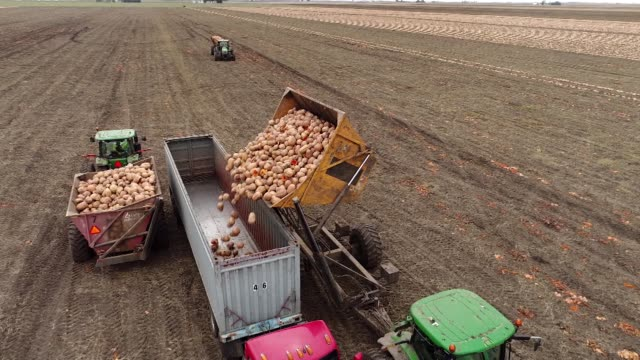 Pumpkins grown for Nestle USA Libby's Pumpkin are harvested and dumped into truck crate in this aerial shot in Hartsburg Illinois US on Friday Oct 27...