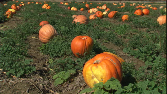 pumpkins ripen in the field of a farm. - pumpkin stock videos & royalty-free footage