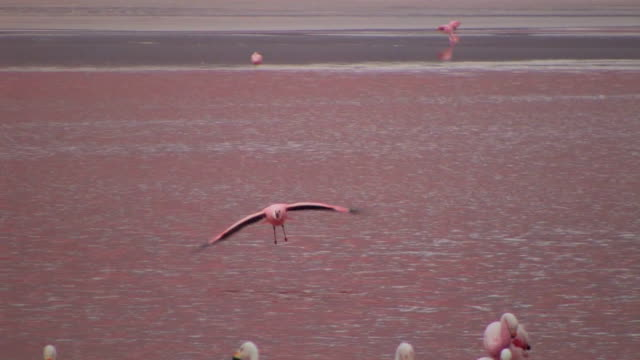 MS PAN TD Puna flamingo flying over the pink waters of the Laguna Colorada and lands behind group of Andean flamingos in foreground / Eduardo Avaroa Faunistic Reserve, Potosi, Bolivia