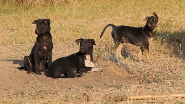 vídeos de stock, filmes e b-roll de puppies barking. - latindo