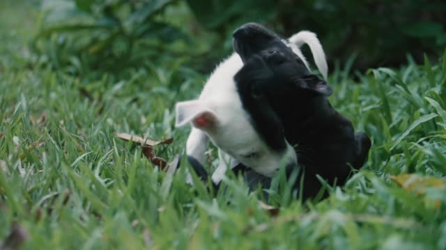 puppies engage in mock combat in the back yard. - curiosity stock videos & royalty-free footage