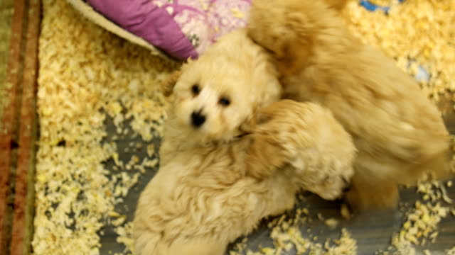 puppies for sale - three animals stock videos & royalty-free footage