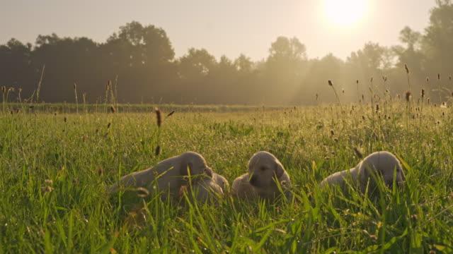 vídeos y material grabado en eventos de stock de slo mo ms cachorros en prado - small group of animals