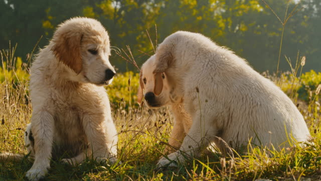 ms puppies in meadow - golden retriever stock videos & royalty-free footage