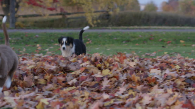puppies in the leaves - border collie stock videos & royalty-free footage