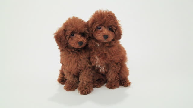 vídeos y material grabado en eventos de stock de puppies of toy poodle - monada