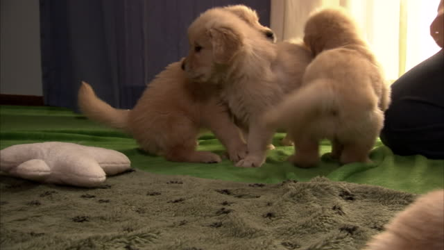 puppies play in a living room. - young animal stock videos & royalty-free footage