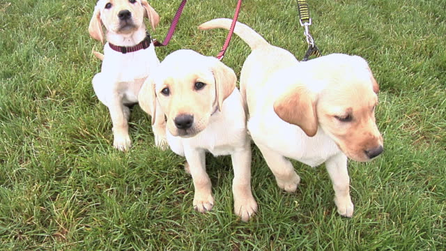 stockvideo's en b-roll-footage met puppies ready for walk - drie dieren