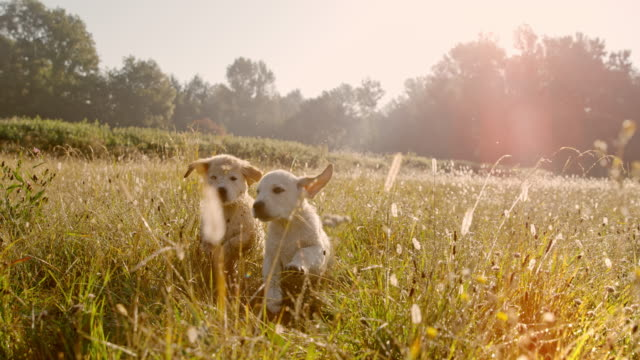 super slo mo time warp effect ms puppies running in meadow. playing dogs. golden retriever puppies running in a grassy meadow at sunset - two animals stock videos & royalty-free footage