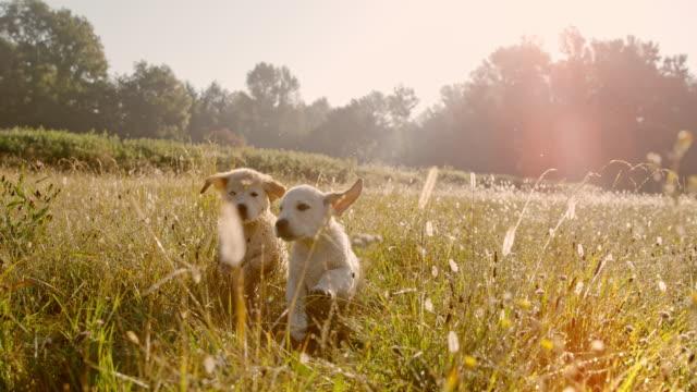 super slo mo time warp effekt ms valpar körs på äng. att spela hundar. golden retriever valpar som körs i en gräsbevuxen äng vid solnedgången - två djur bildbanksvideor och videomaterial från bakom kulisserna