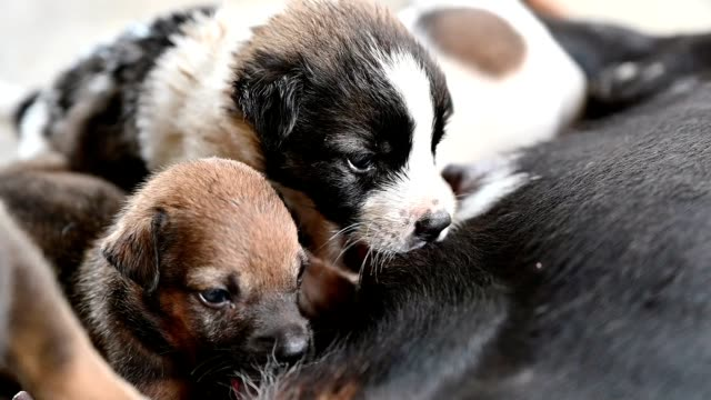 puppies sucking milk from mother dog - woman breastfeeding animals stock videos and b-roll footage