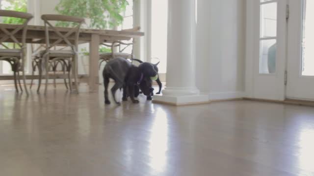 stockvideo's en b-roll-footage met puppies - eetkamer