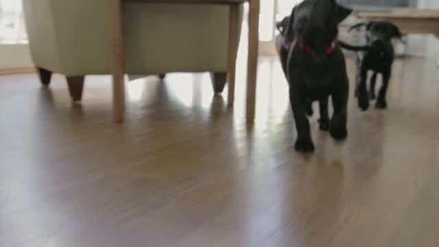 vídeos y material grabado en eventos de stock de puppies - piso residencia