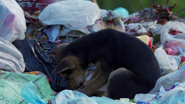 puppies/dog (feeding and sleeping) in a garbage dump in sri lanka - leftovers stock videos & royalty-free footage