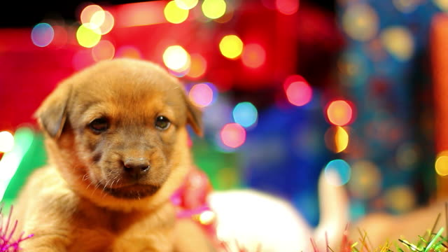 Puppy and gift boxs
