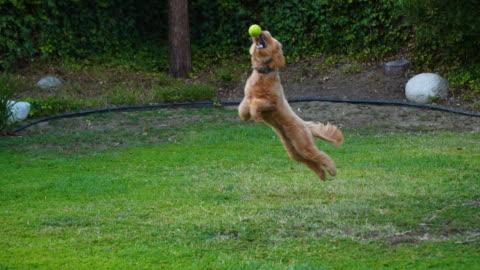 小狗捕捉網球。 - ball 個影片檔及 b 捲影像