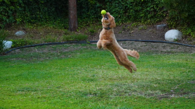 puppy catching a tennis ball - sitting stock videos & royalty-free footage