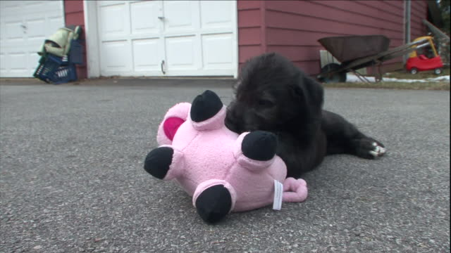 a puppy chews a pig toy. - chewing stock videos & royalty-free footage