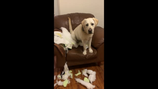 puppy destruction - messing about stock videos & royalty-free footage