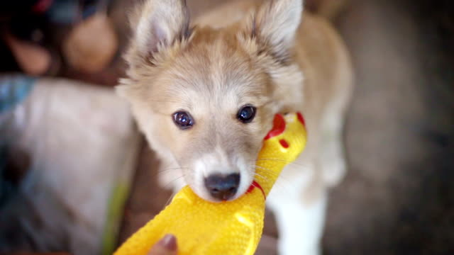 A puppy dog plays with owner, biting and pulling a chicken doll from the woman's hand.