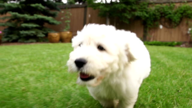 puppy dog running with joy. - domestic garden stock videos & royalty-free footage