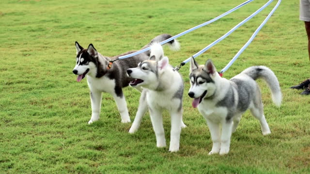 puppy dogs barking on green field - breeder stock videos and b-roll footage