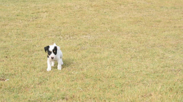 puppy dogs running across grass field - lap dog stock videos & royalty-free footage