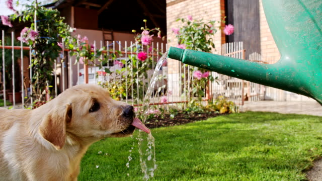 slo mo puppy drinking from the watering can - watering can stock videos & royalty-free footage