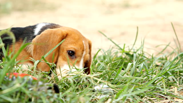puppy eating on grass. - beagle stock videos & royalty-free footage