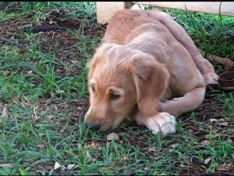 puppy in backyard - retriever stock videos & royalty-free footage