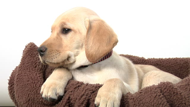 puppy in basket - basket stock videos & royalty-free footage