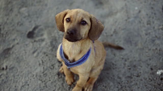 puppy in blue harness sits on beach sand, stares up at camera. - blue dog stock videos & royalty-free footage