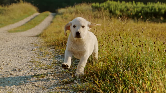 super slow motion ms puppy in meadow - golden retriever stock videos & royalty-free footage