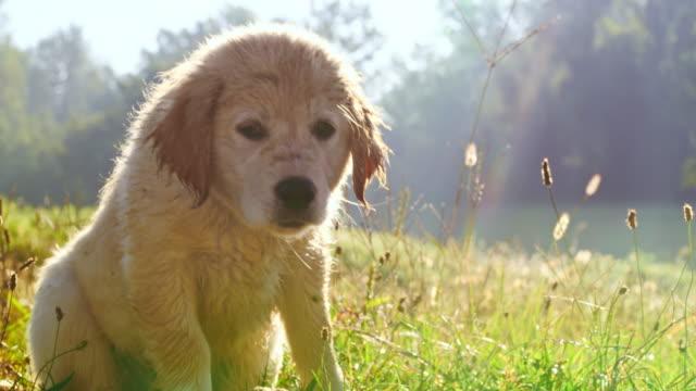 牧草地でms子犬 - 掻く点の映像素材/bロール