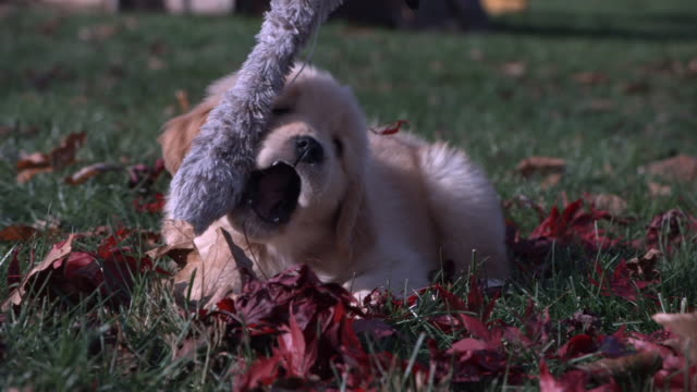 a puppy lies in leaf-strewn grass and plays with a dangling toy. - welpe stock-videos und b-roll-filmmaterial