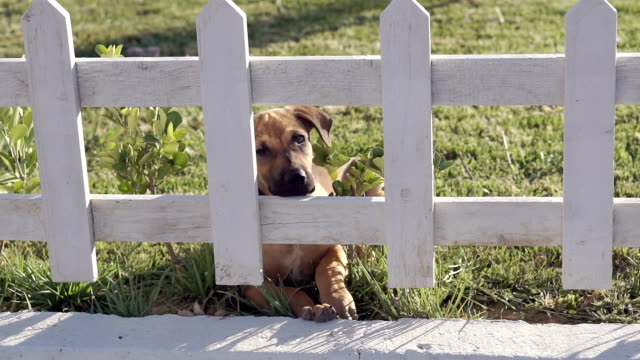 puppy looking behind the fence. - hide and seek stock videos & royalty-free footage