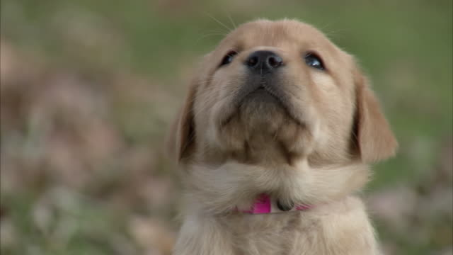 vídeos de stock e filmes b-roll de a puppy looks around. - cabeça de animal