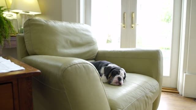 Puppy lying in an armchair