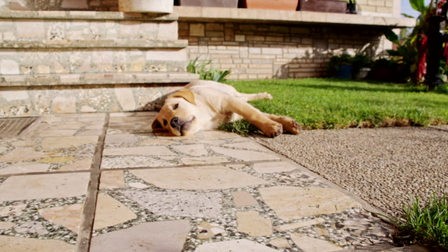 ms la puppy lying in the backyard - front stoop stock videos and b-roll footage