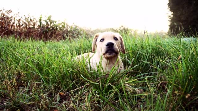 LA Welpe liegen auf dem Rasen