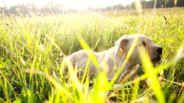 vídeos de stock, filmes e b-roll de slo mo cachorrinho deitado na grama - raw footage