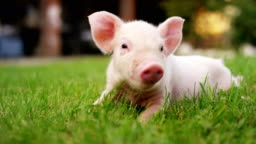 A puppy pig in a garden of a farm of a farmer brought in a healthy, organic, to make it strong and robust growth with a correct and natural food.