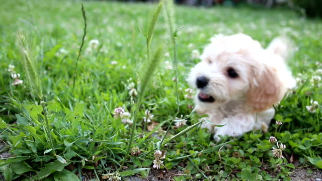 puppy playing in a gras - bichon frise stock videos and b-roll footage