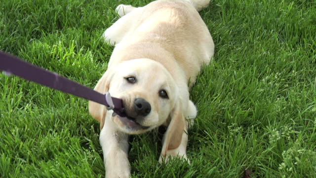 puppy playing tug-a-war with leash pov - puppy stock videos & royalty-free footage