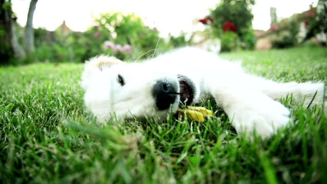stockvideo's en b-roll-footage met puppy spelen. - wasknijper